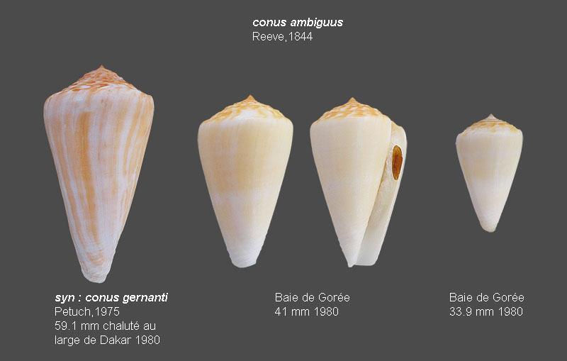 Conus SP. Sénégalais, les Almadies         Avis de Christophe ROUX demandé Conus_11