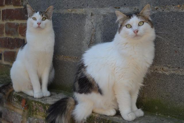 DIXIE - Tabby et Blanche - Née le 23/04/2015 - En FA dans le 80 Dsc_0919