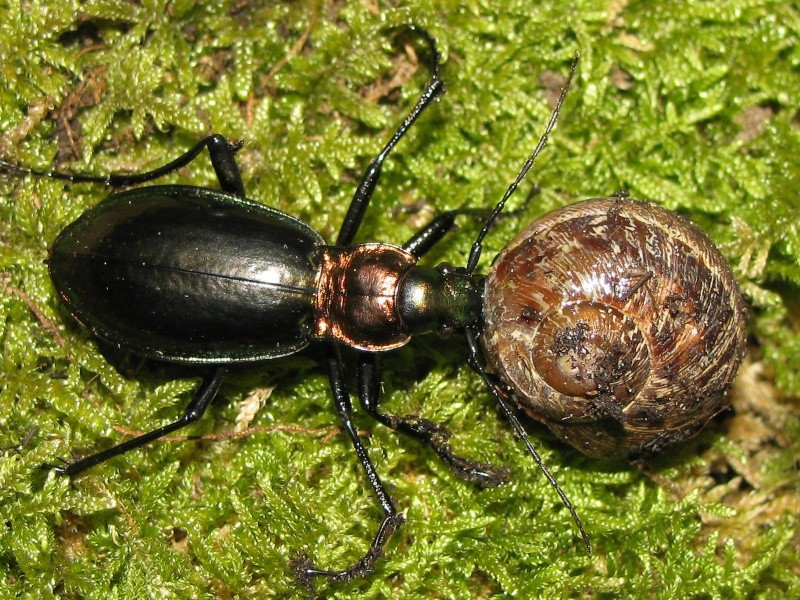 Chrysocarabus splendens (élevage) Img_5634