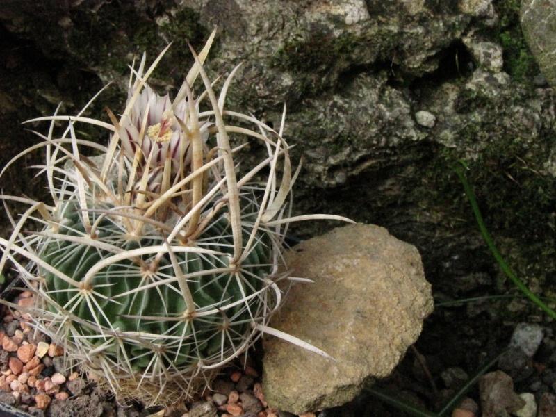 Stenocactus zacatecasensis Efuss_10