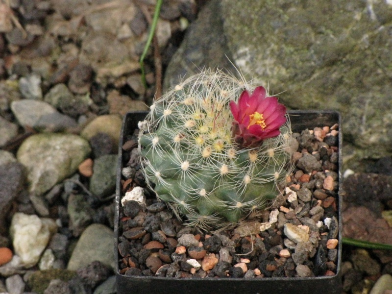 Pediocactus paradinei  Img_7810