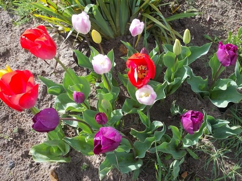 tulipes - Page 2 Dscn9313