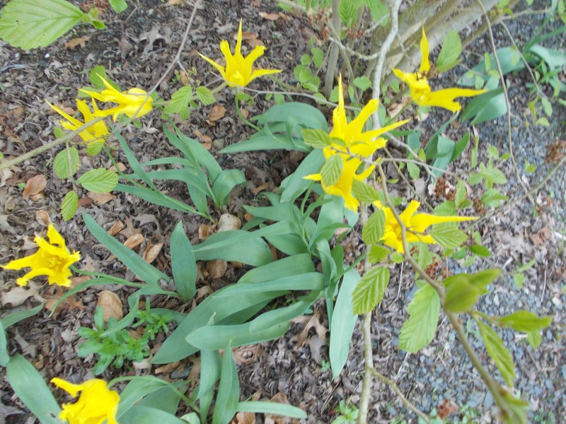 tulipes - Page 2 Dscn9420