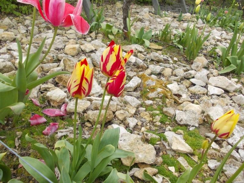 tulipes - Page 2 Dscn9519