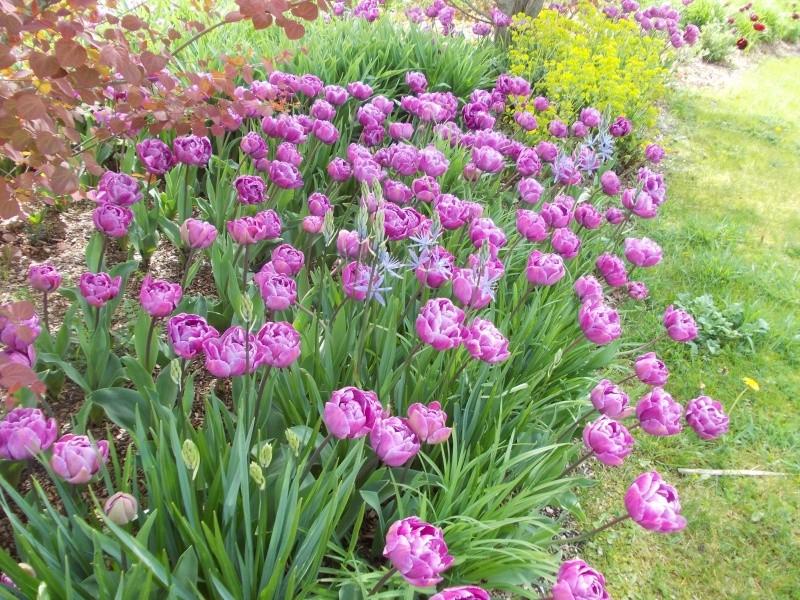 tulipe 2016 à 2019 Dscn9624
