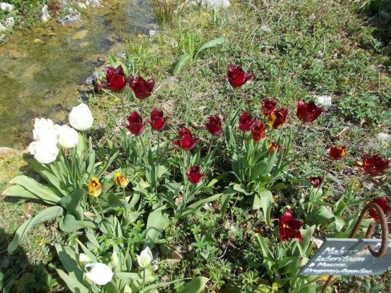 tulipes - Page 2 Dscn9625