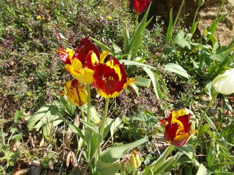 tulipes - Page 2 Dscn9626