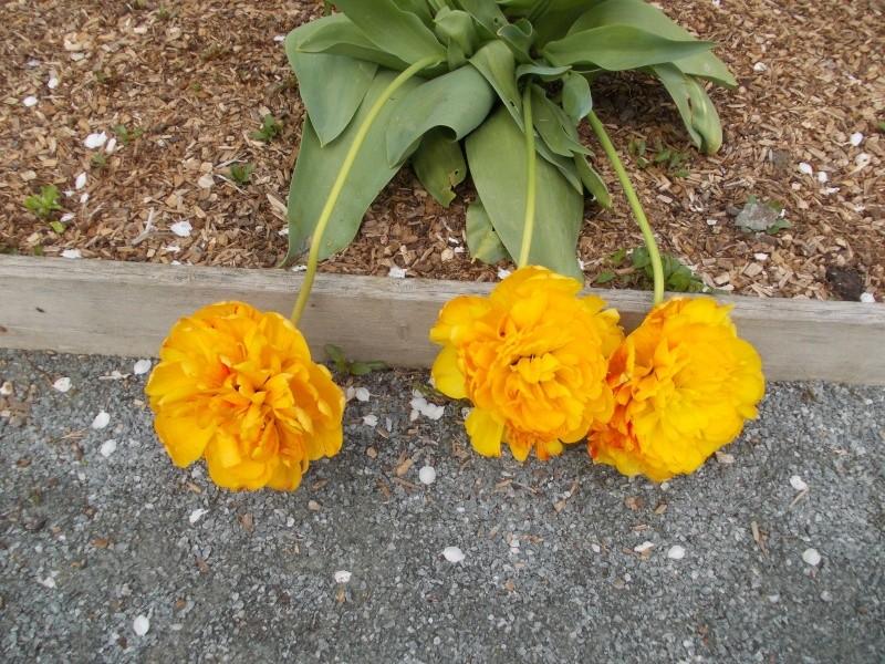 tulipes - Page 2 Dscn9736