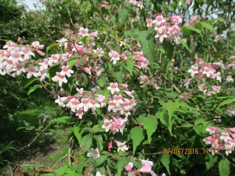 kolkwitzia amabilis Img_0822