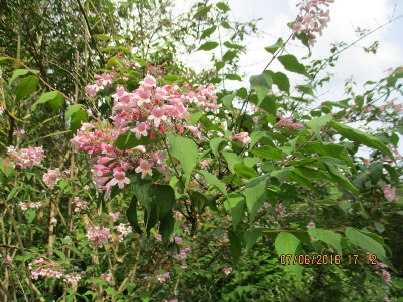 kolkwitzia amabilis Img_0824
