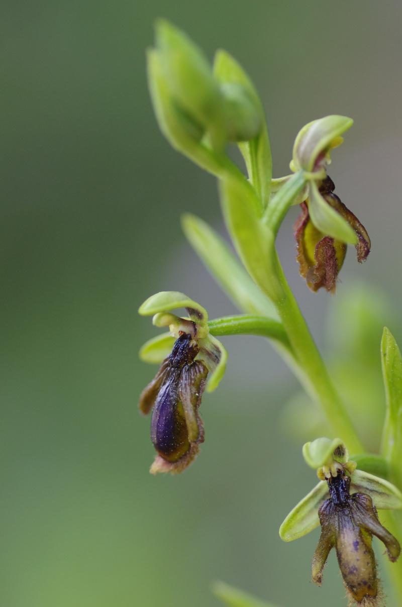 Ophrys vernixia (Ophrys vernissée, Ophrys du Portugal) Alcabi20