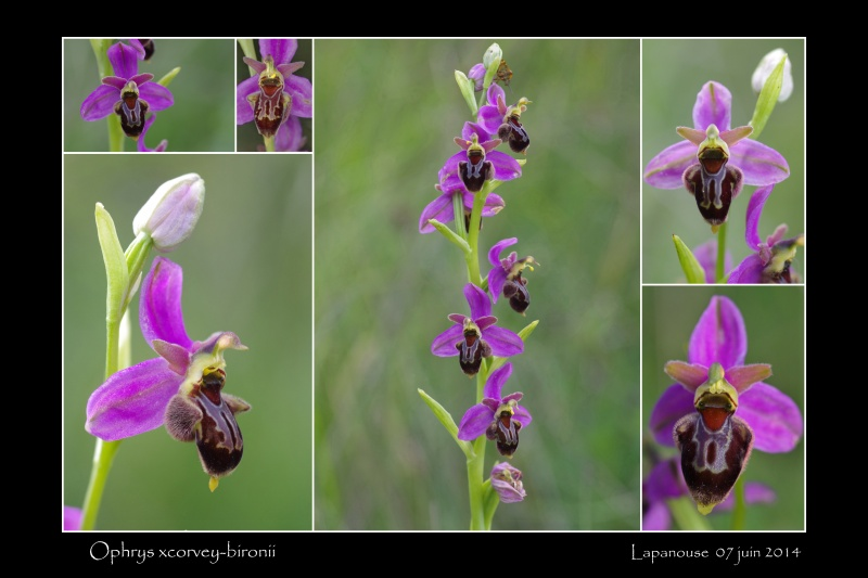 Ophrys apifera x aveyronensis Ophrys14