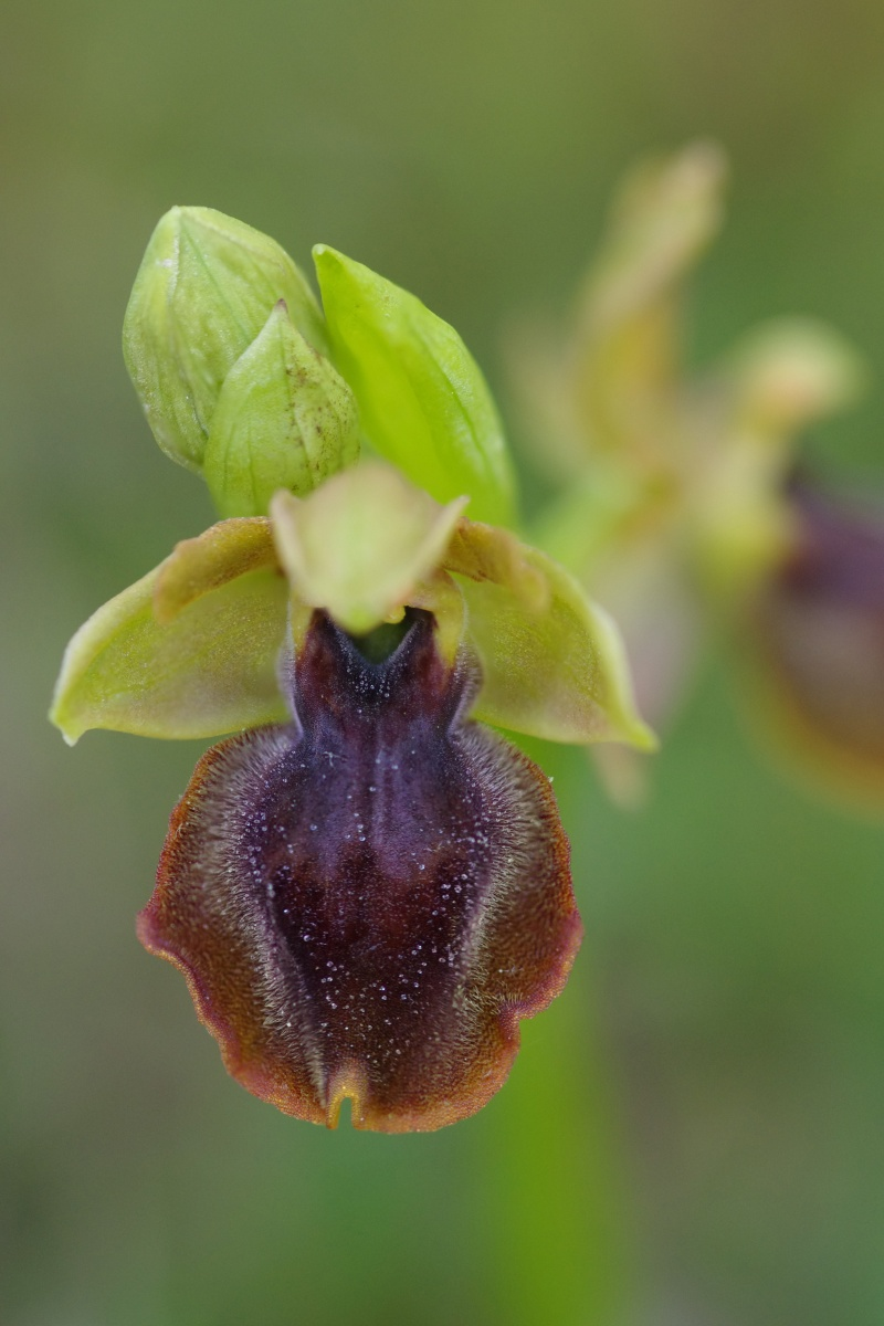 Ophrys aveyronensis × lutea Ophrys16