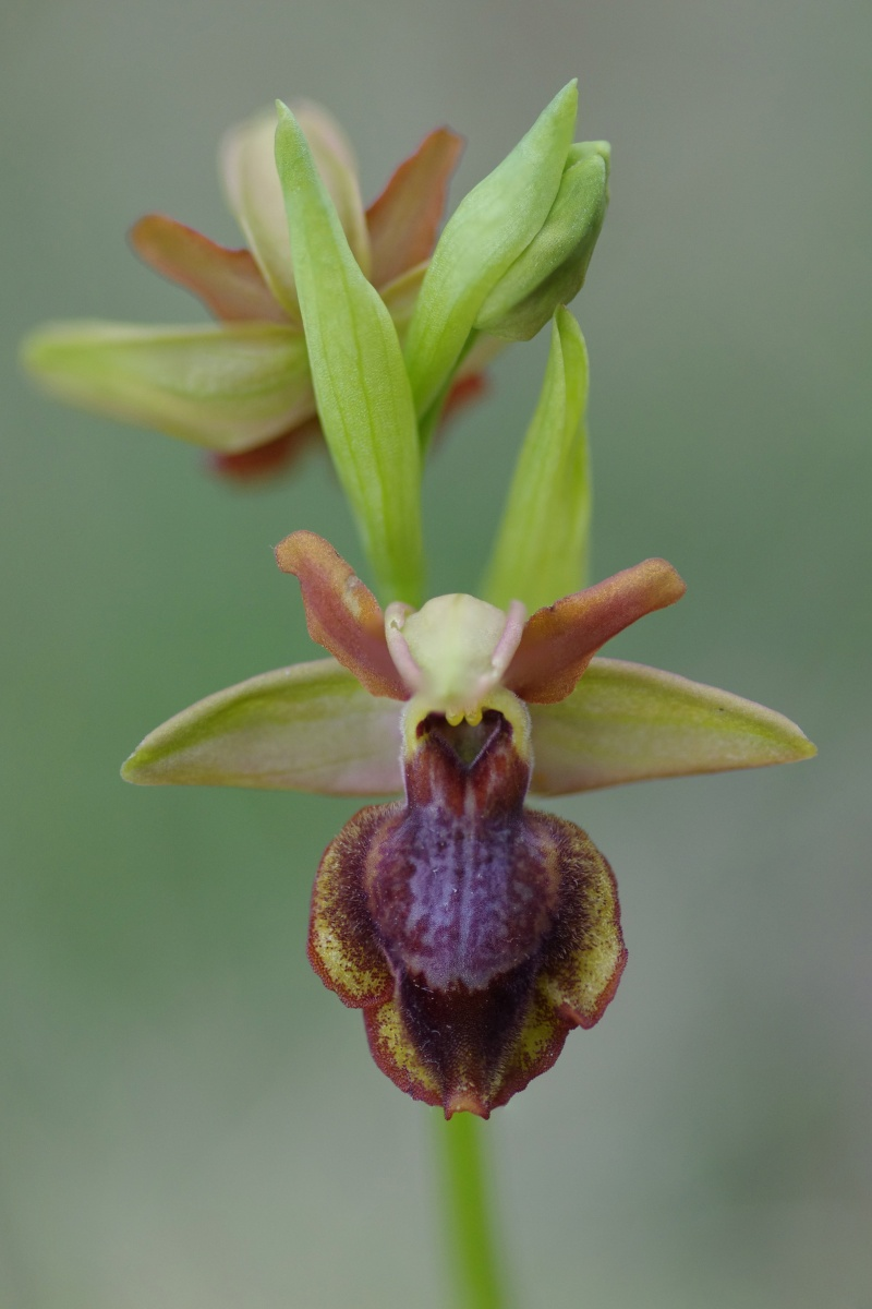 Ophrys aveyronensis × lutea Ophrys17