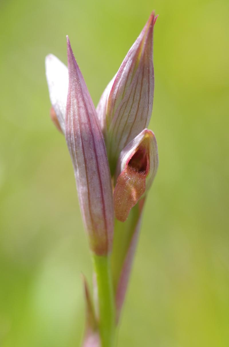 Serapias parviflora (Sérapias à petites fleurs)   Serapi10
