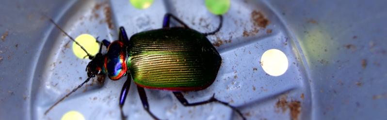 Helpful Beetles Beetle10
