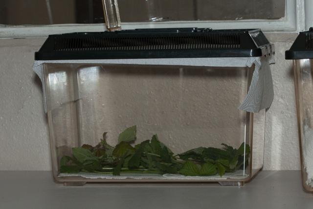 Oeufs de Saturnia pavonia Boite10