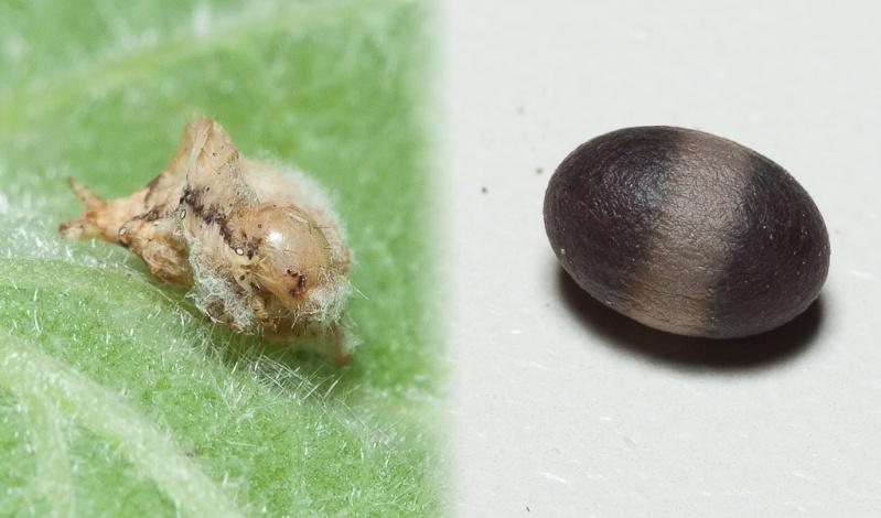 Oeufs de Saturnia pavonia Parasi10