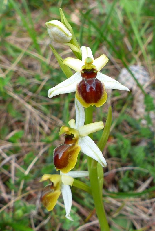 Ophrys araneola Chitry 89   4/2016 P1010111