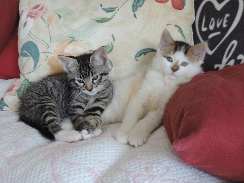 mateos - Matéos, chaton euro brown tabby et blanc, né le 27/03/2016 Marvel10