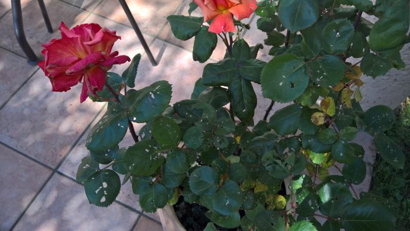 Feuilles de rosier trouées Wp_20110