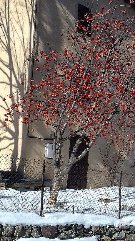 Sorbus aucuparia - sorbier des oiseleurs - cultivars et hybrides 20190210