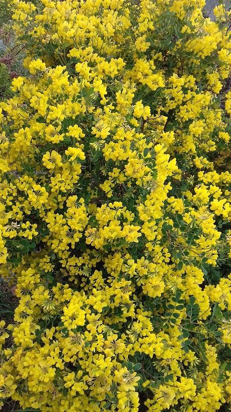 Coronilla glauca (= C. valentina subsp. glauca) - coronille glauque 20190420