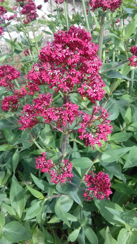 Centranthus ruber - valériane / centranthe rouge 20190510
