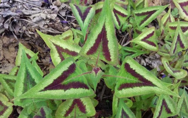 Polygonum runcinatum (= Persicaria runcinata) 20190512