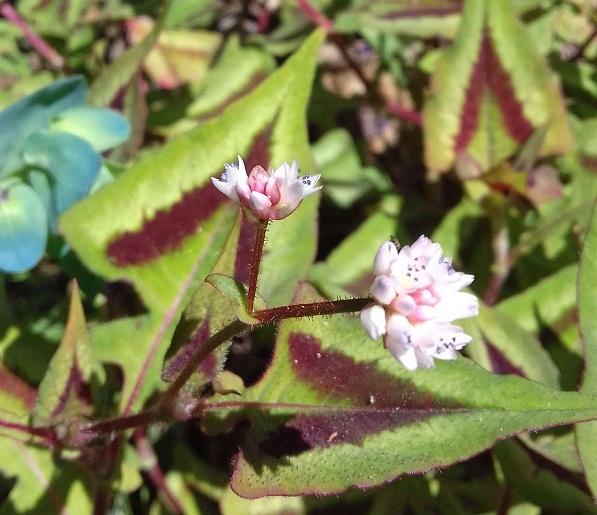 Polygonum runcinatum (= Persicaria runcinata) 20190517
