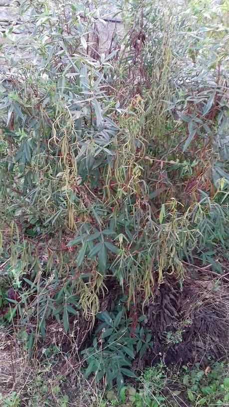 Zanthoxylum armatum - poivre de Timut 20191025
