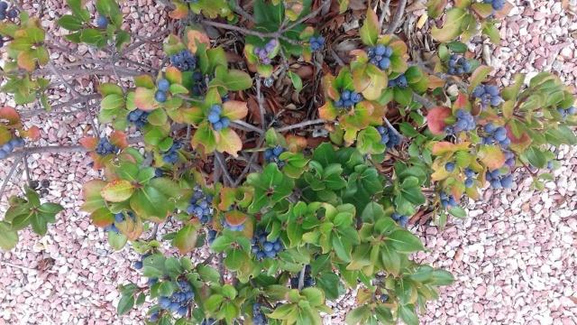 Quel arbuste ? Rhaphiolepis 20191027