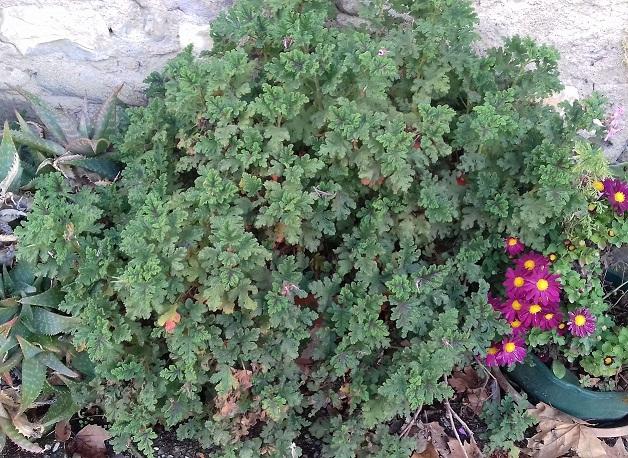 Pelargonium quercifolium 20191114