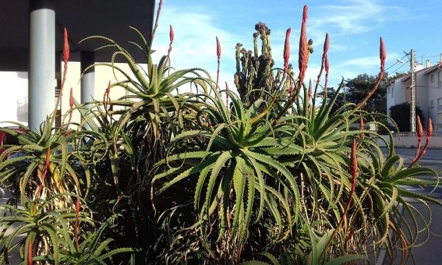 Aloe arborescens - Page 2 20191118