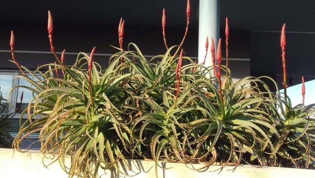 Aloe arborescens - Page 2 20191120