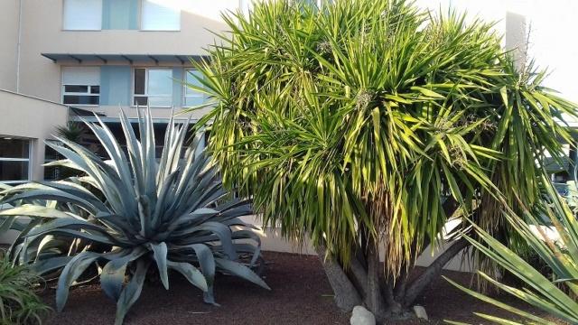 Yucca elephantipes - Yucca gigantea - Yucca guatemalensis - Page 6 20191123