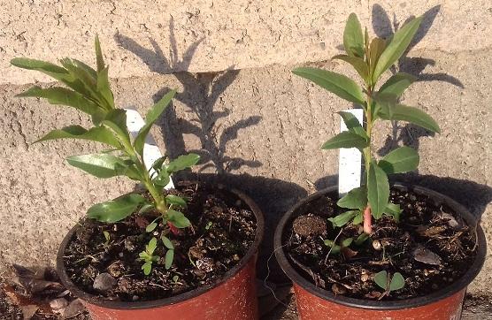 Prunus dulcis - amandier - Page 2 20200111