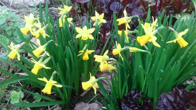 Narcissus - les narcisses - Page 5 20200210