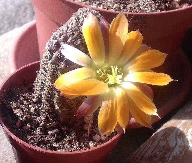 Cactus - floraisons 2020 20200510