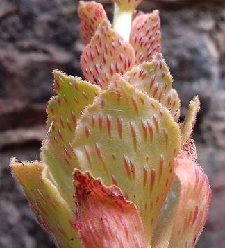 Aeonium smithii 20200614