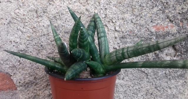 Sansevieria cylindrifolia var. patula  20201118