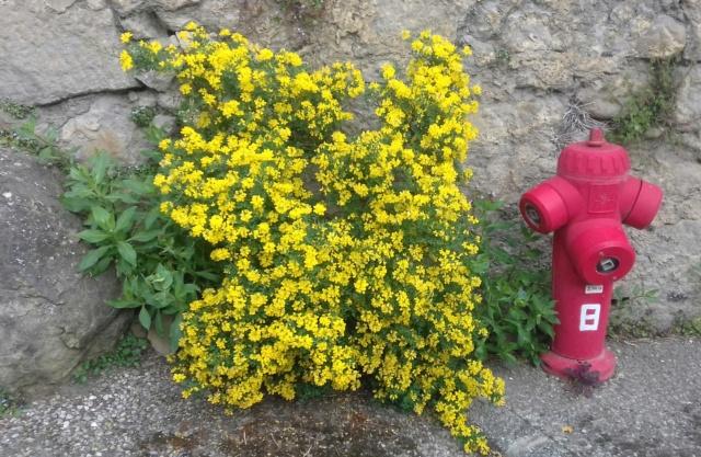 Coronilla glauca (= C. valentina subsp. glauca) - coronille glauque - Page 2 20210410
