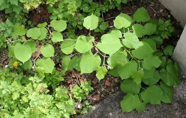 Tilia vulgaris - tilleul [identification] Img_0410