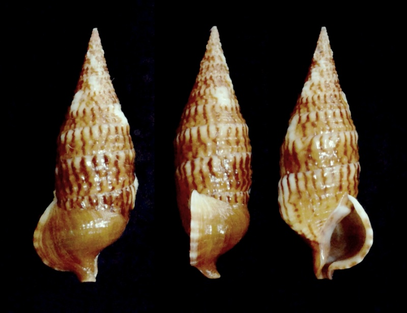 Cerithium pacificum - Houbrick, 1992 Cerith11