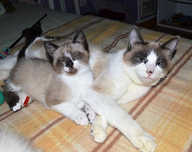 moka - Moka, chaton type euro marbrée museau et pattes blanches, né le 15/02/2016 Dsc_0067