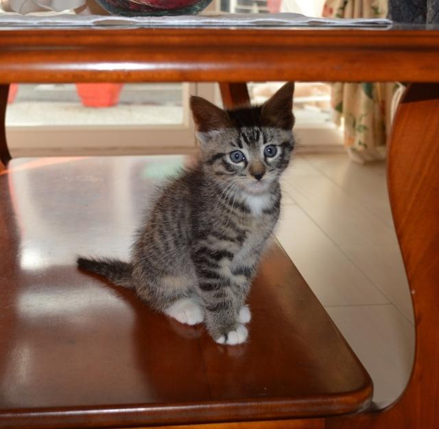 mateos - Matéos, chaton euro brown tabby et blanc, né le 27/03/2016 Dsc_0077
