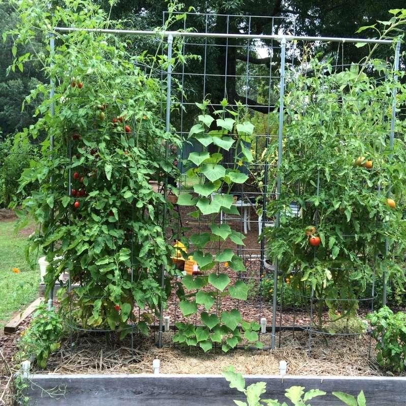 Trellis Tomato16