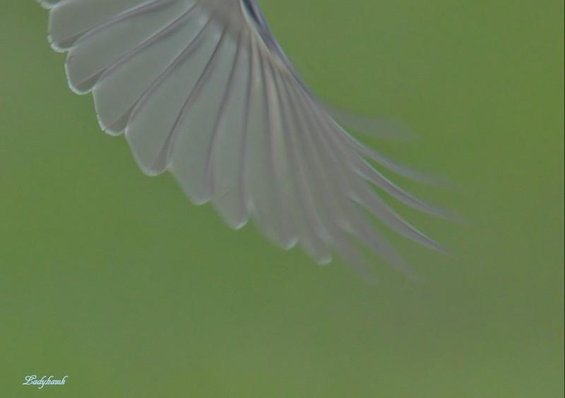 l'aile de droite Img_4810