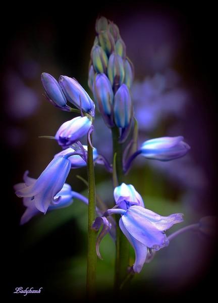 muguet bleu Img_5010
