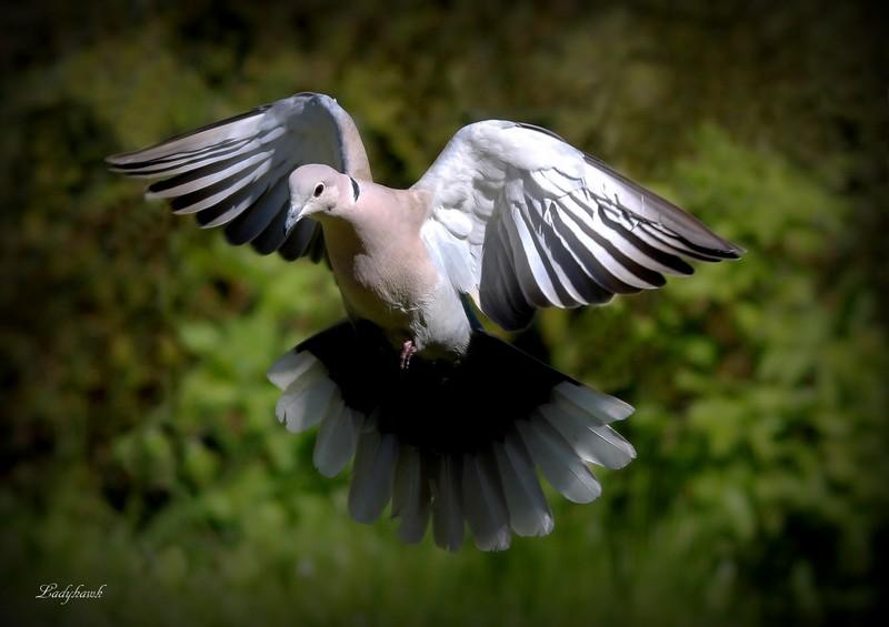 "encore "" ailes "" Img_9011"